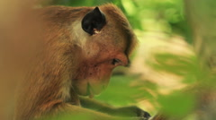 attentive monkey - stock footage