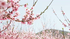 Close up of pink blossoms in orchard Stock Footage