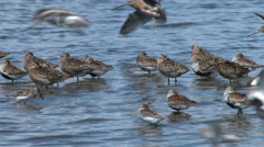 Shorebirds, Birds, Spring Migration, Sandpiper, Dunlin Stock Footage