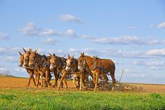 Mules Working on Amish Farm Stock Photos