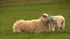 Scotland countryside. Sheeps and lambs Stock Footage