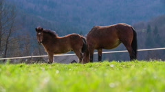 Foal and the mare side view on pasture 4K Stock Footage