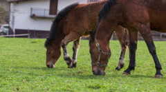 Two horses eating grass medium side shot 4K Stock Footage