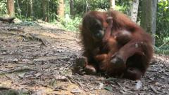 Orangutan breast feeding baby on forest floor Stock Footage