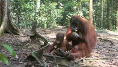 Mother and baby orangutan sitting quietly on forest floor Stock Footage