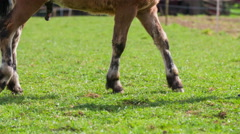 Horse hooves of young foal in green grass walk 4K Stock Footage