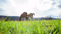 Two horses in lawn view from grass 4K Stock Footage
