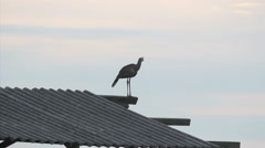Brazilian Bird. Seriema. Brazil. Cerrado. Stock Footage