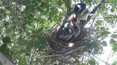 Scrub jay one adult feeds chicks (windy) V18191 Stock Footage