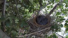 Scrub jay female arrives feeds resting chicks V18213 Stock Footage