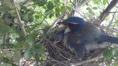 Scrub jay male arrives all feed zoomed V18204 Stock Footage