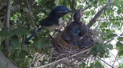 Scrub jay parent arrives feeds eats poop leaves V18225 - stock footage