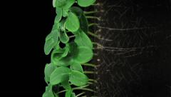 Time-lapse of germinating cucumbers in RGB + ALPHA matte format, vertical Stock Footage