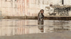 Walking monkey drinking water. Stock Footage