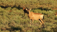 Red hartebeest antelope Stock Footage