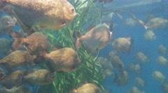 Piranha (Serrasalmus nattereri) swimming underwater with 4K resolution Stock Footage