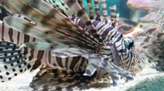 Red Lionfish In Aquarium, Pterois Volitans Stock Footage