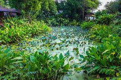 Lotus pond around with green tree and small hut - stock photo