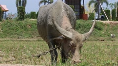 The Buffalo are eating grass.1 Stock Footage