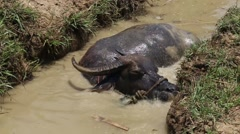 Buffalo is soak water. - stock footage