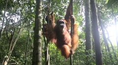 Mother and young orangutan in tree Stock Footage