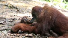 Mother and baby orangutan relaxing on forest floor Stock Footage