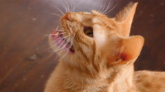 Cat meowing Stock Footage