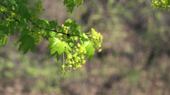 Blooming Sugar Maple tree in a breeze Stock Footage