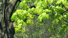 Sugar Maple Blooms blown by a breeze. Stock Footage