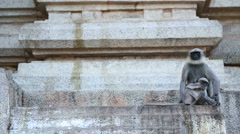 Cute monkeys sitting in front of temple in indian village hampi. Stock Footage