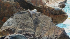 Desperate Wild Goat On A Rock In The Sea Stock Footage