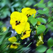 Yellow wild pansy flowers / Viola tricolor/ Alpine violet flowers - stock photo