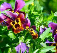 Beautiful yellow purple blue violet pansies flower plant - stock photo