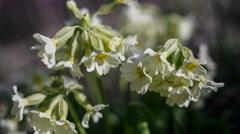 Cowslip Primula veris Stock Footage
