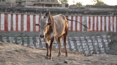 Cow standing in the indian village Hampi, well known for its temples Stock Footage