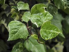 Green ivy Hedera - stock photo