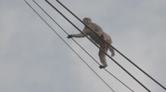 Monkey walking on lines, India Stock Footage