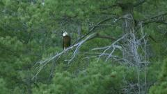 Bald Eagle Perched and Looking Around Stock Footage