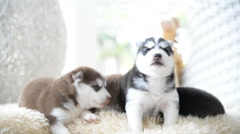 Cute siberian husky puppies playing in restroom - stock footage