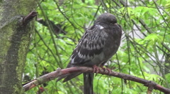 Dove on branch, rain Stock Footage