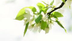 Closeup of blooming pear branch on white blur background. - stock footage