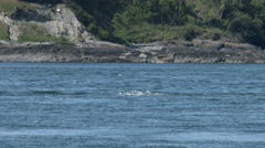 Orca, Killer Whale, Whales, Black Fish, Sea Lions Stock Footage