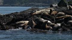 Steller Sea Lions, Sea Lions, Seals Stock Footage