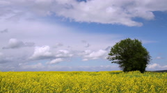 Rapeseed field. - stock footage