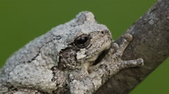 Gray Tree Frog (Hyla versicolor) on a tree Stock Footage