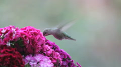 Female hummingbird with magenta flowers Stock Footage