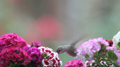 Hummingbird with Sweet William flowers Stock Footage
