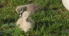 Stock Video Footage of cygnets, or baby swans
