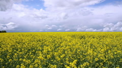 Rapeseed field. Stock Footage