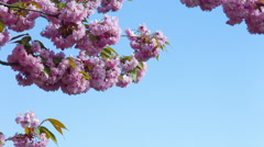 Pink cherry blossoms on blue sky 4k Stock Footage